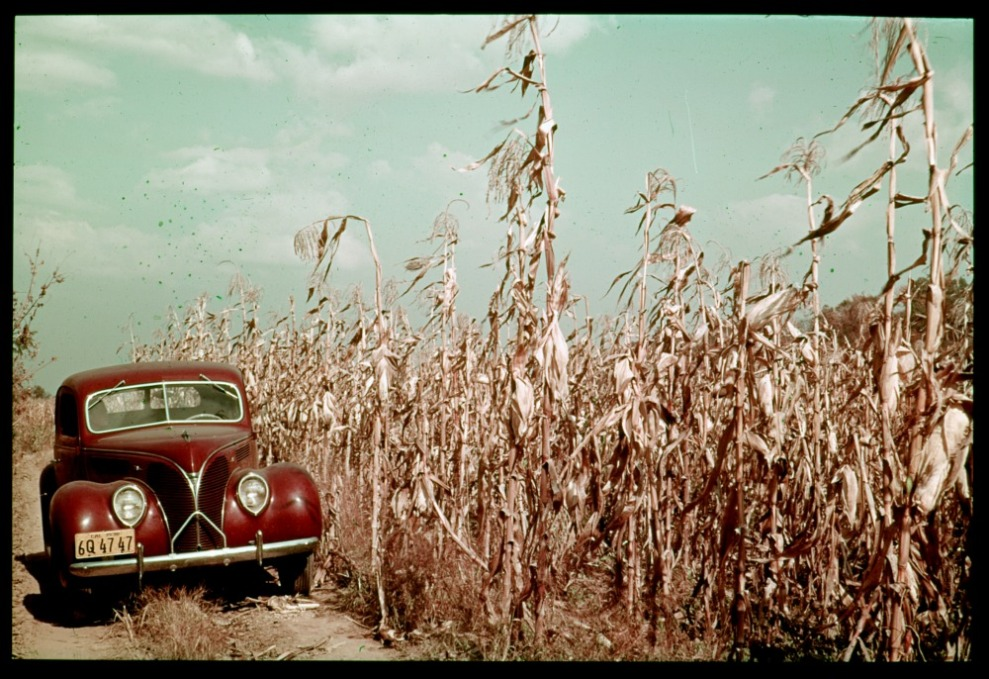 ID: P01525. 1938 Nov. Tall corn in the Wabash bottoms. Posey, IN. Retrieved from: http://www.dlib.indiana.edu/collections/cushman/